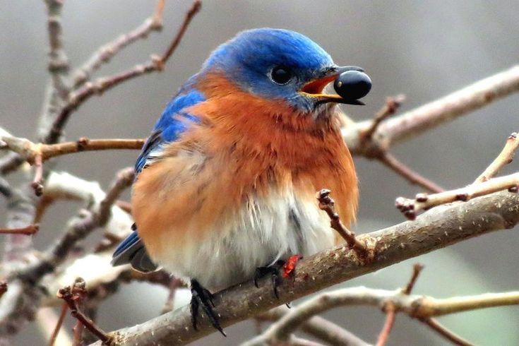 Learn what bluebirds eat to attract them to your yard
