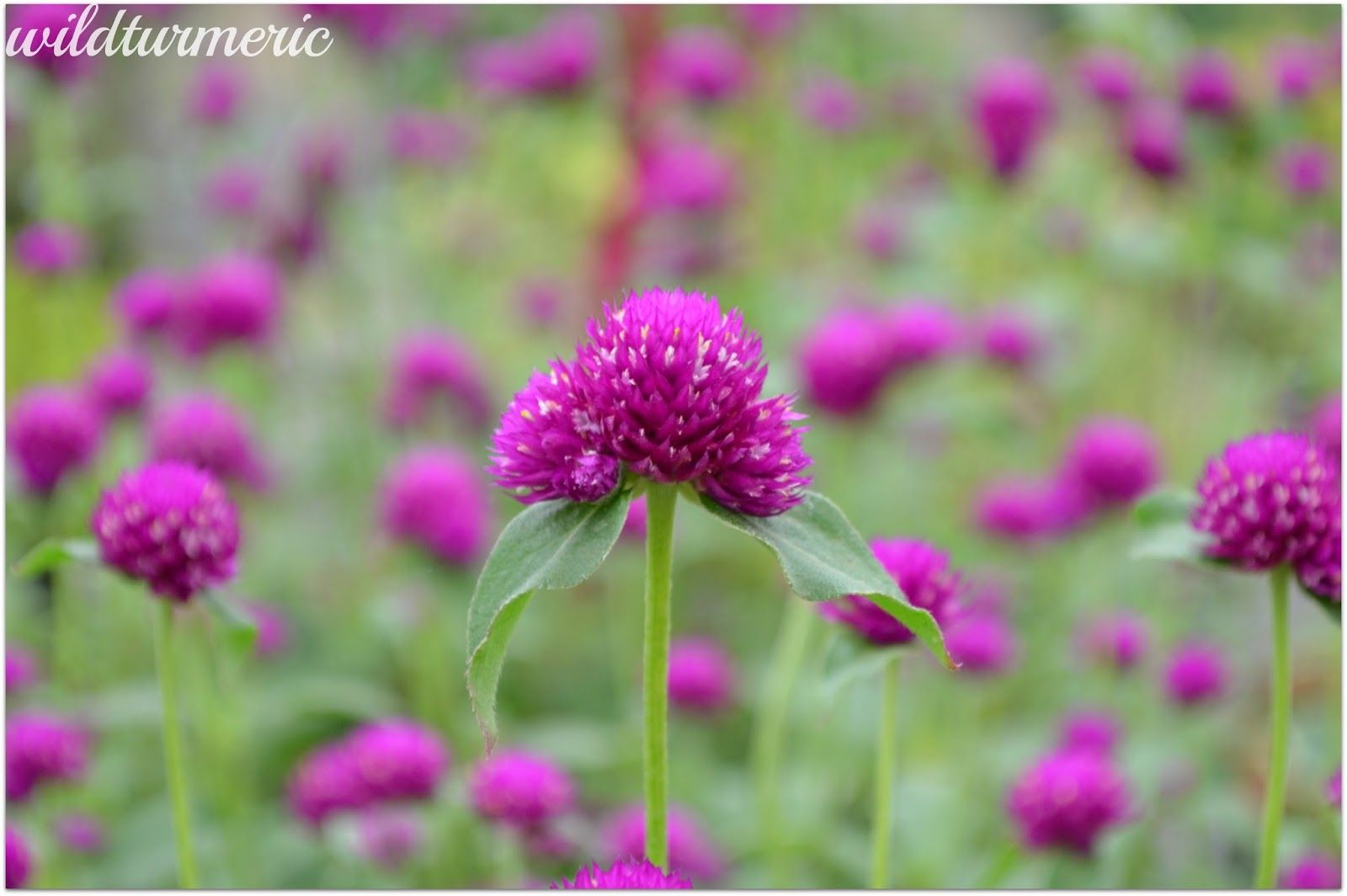 5 Top Medicinal Uses Of Gomphrena Globosa Globe Amaranth Vadamalli Wildturmeric In 2020 Globe Amaranth Amaranth Flower Annual Plants