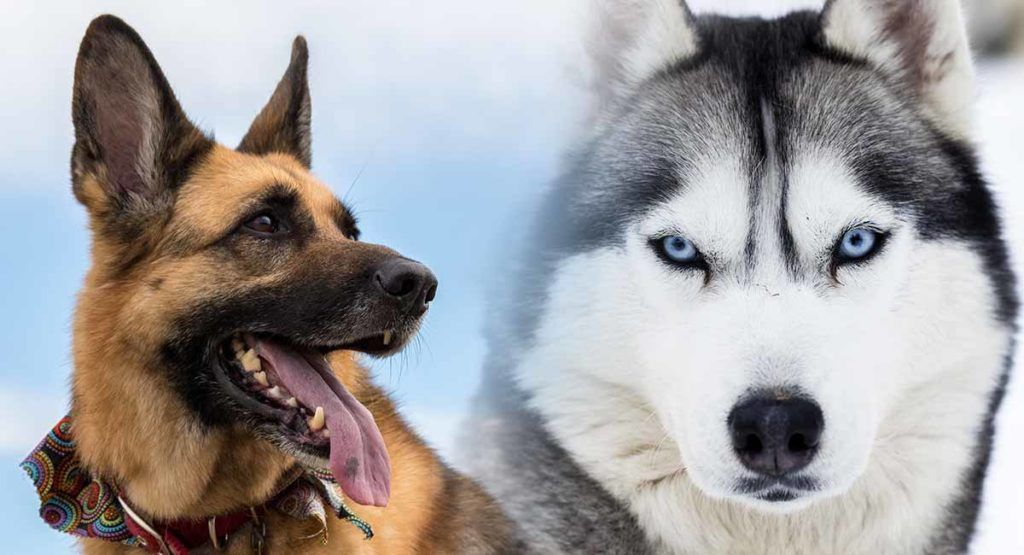 German Shepherd Vs Husky Which Breed Makes A Better Pet For You