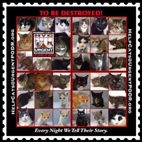 To Be Destroyed 07 21 16 Info Please Share To Be Destroyed Please Share Click For Info Current Status Http Foster Cat Cat Adoption Animal Help