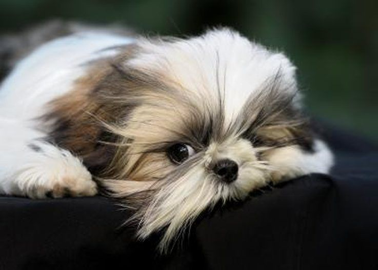Depending On The Dominant Gene The Dog May Have Straight Or Curly Hair Shih Tzu Puppy Shih Tzu Shih Tzu Dog