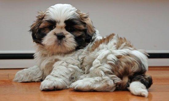 10 Foods Shih Tzu Should Not Eat Shih Tzu Puppy