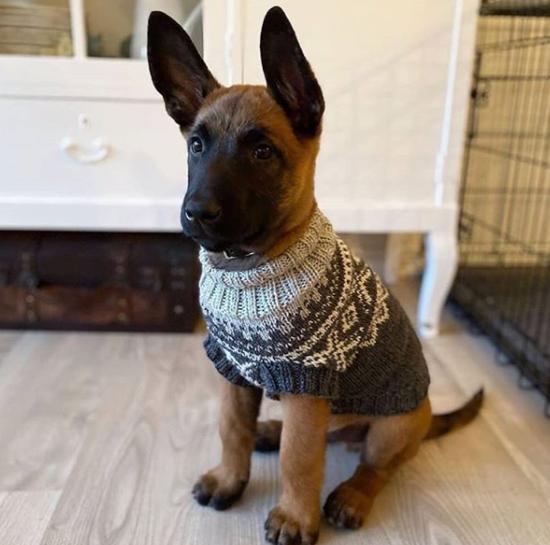 Sweater wearing puppy