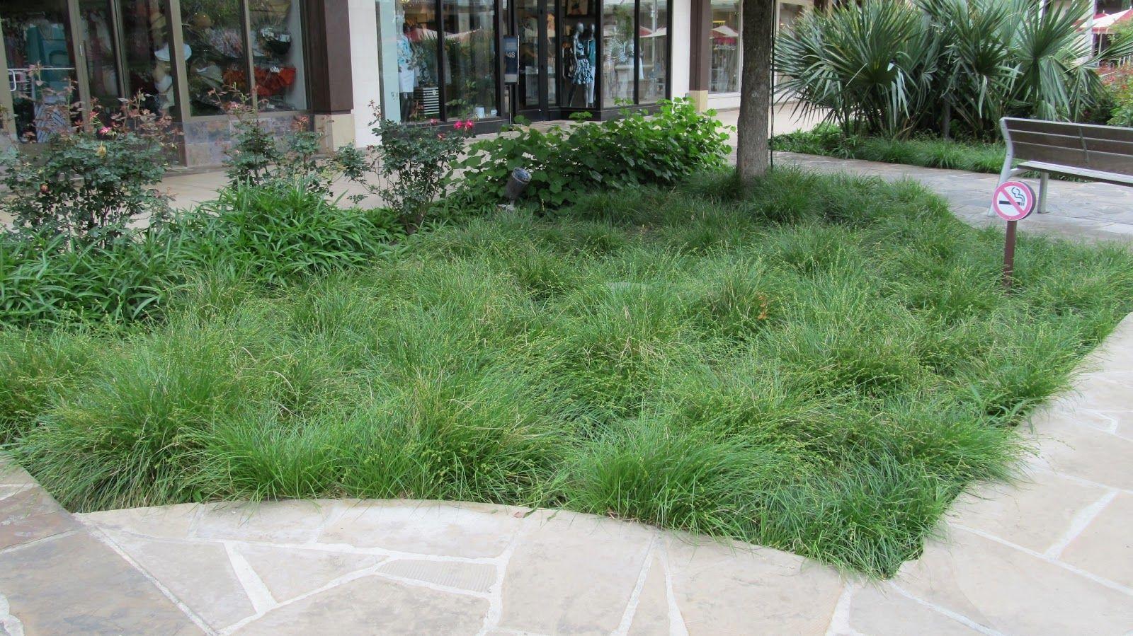 Berkeley Sedge California garden, Backyard