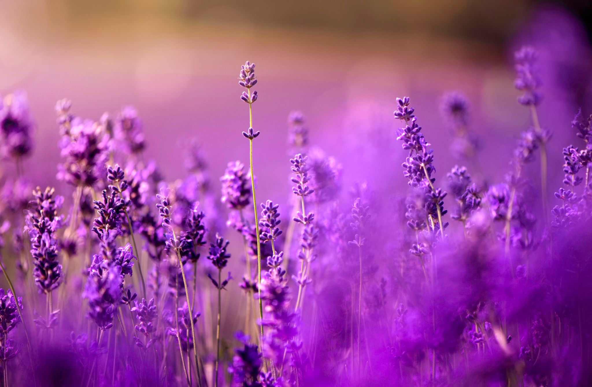 Free download romantic purple lavender field macro photography background image romantic purple - Lavender purple wallpaper ...