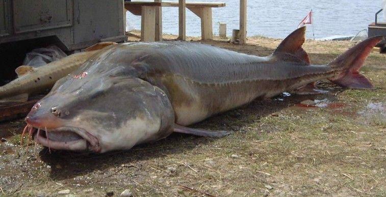Biggest Largest Sturgeon Ever Caught | This 1360 pound ...