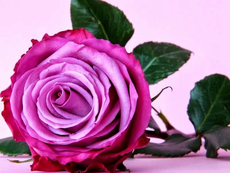 Collection Of Dark Pink Rose Wallpaper On HDWallpapers