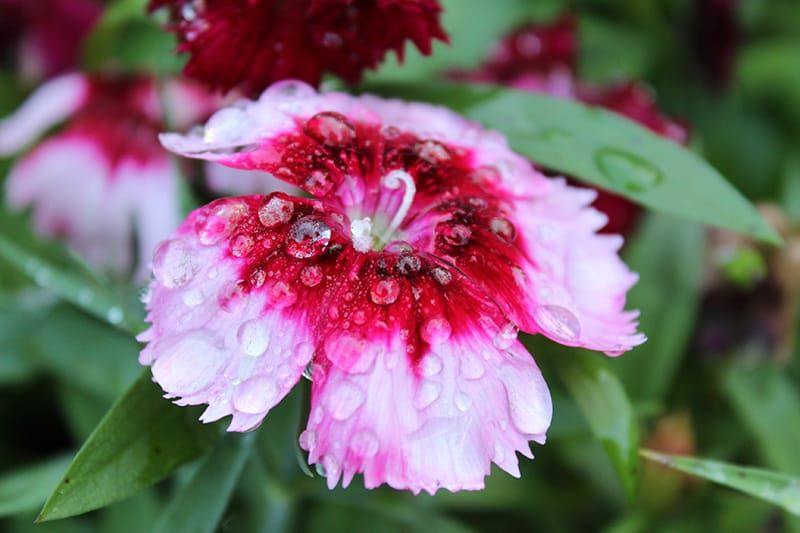How To Grow And Care For Dianthus Flowers In 2020 Dianthus Flowers Flowers Diy Herb Garden