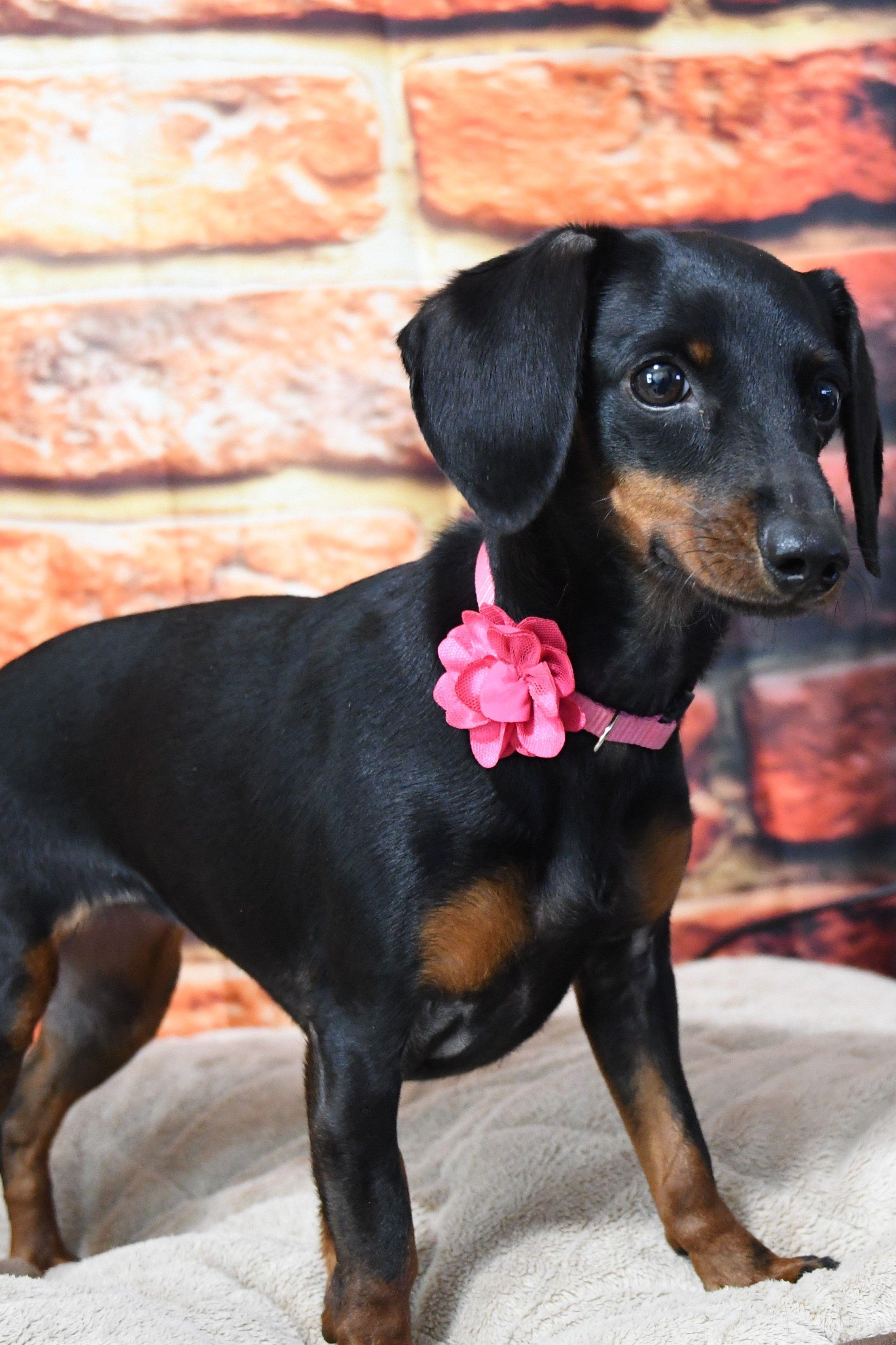 Dachshund Dog For Adoption In Gulfport Mi Adn 804271 On