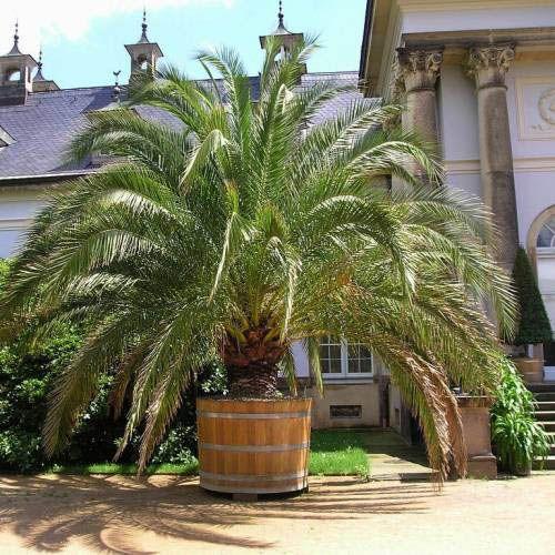 phoenix canariensis tout savoir sur ce magnifique palmier chez soi carnet deco pinterest. Black Bedroom Furniture Sets. Home Design Ideas
