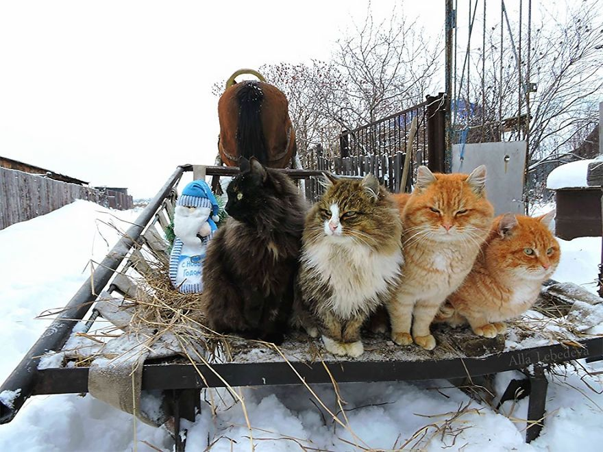 Siberian Farm Cats Have Absolutely Taken Over This Farmer S Land And They Re Absolutely Majestic Gorgeous Cats Siberian Cats For Sale Cats