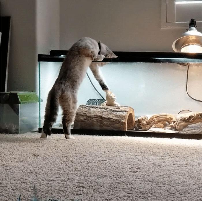 Отлюбви доненависти: 10+ фото осложных отношениях кошек иящериц. Ридус