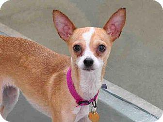 Denver Co Chihuahua Mix Meet Bambi A Dog For Adoption Http