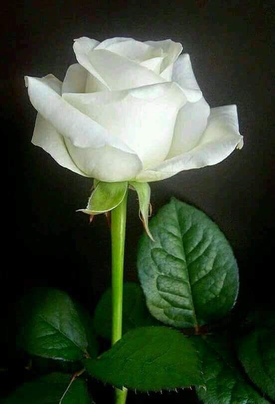 White Rose Fragrant Flowers White Roses Beautiful Roses