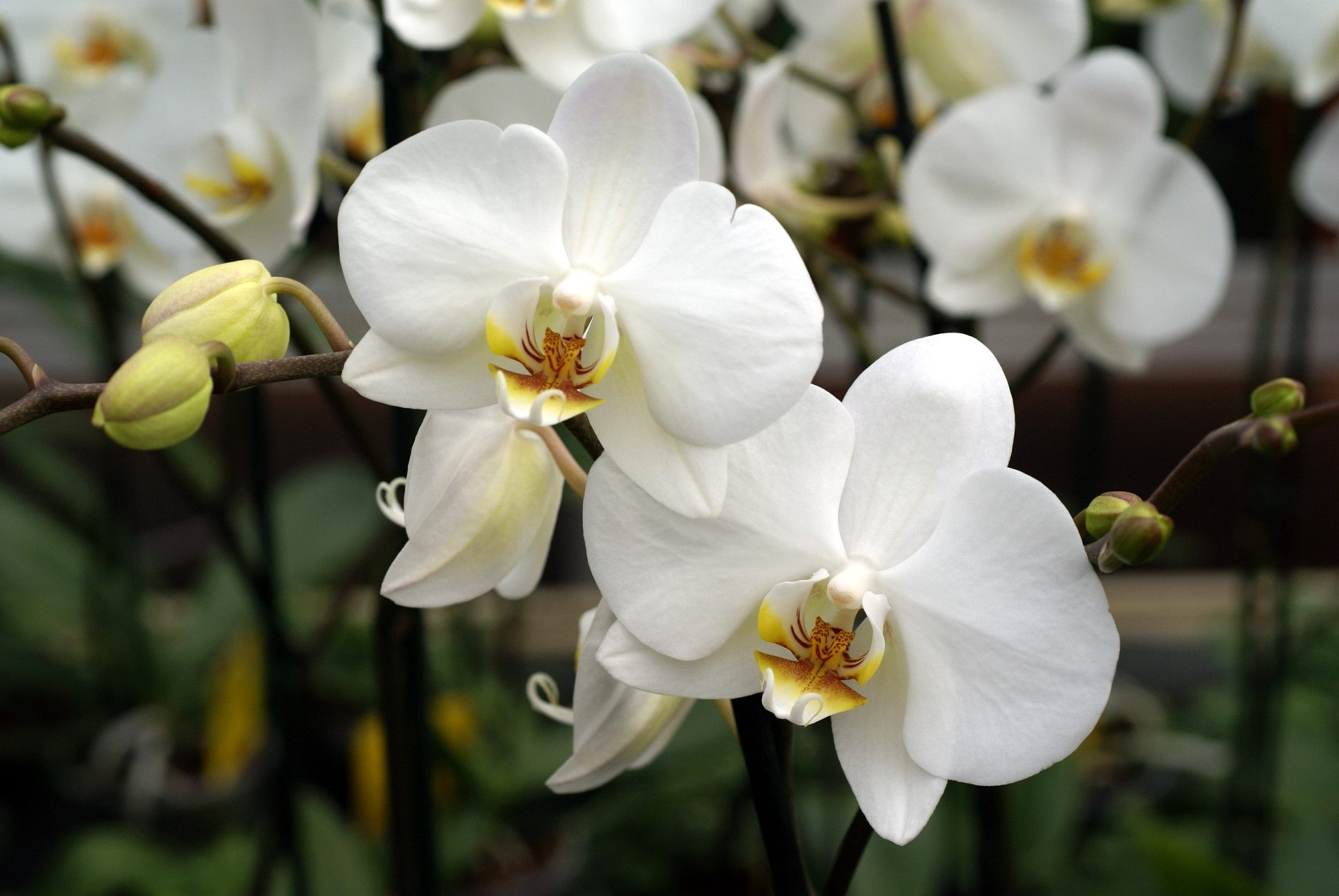 Orchids Are A Beautiful Work Of Art I Fill My Home With Them To Bring Me Joy And Surround Myself With Beauty Orchid Flower White Orchids Orchids