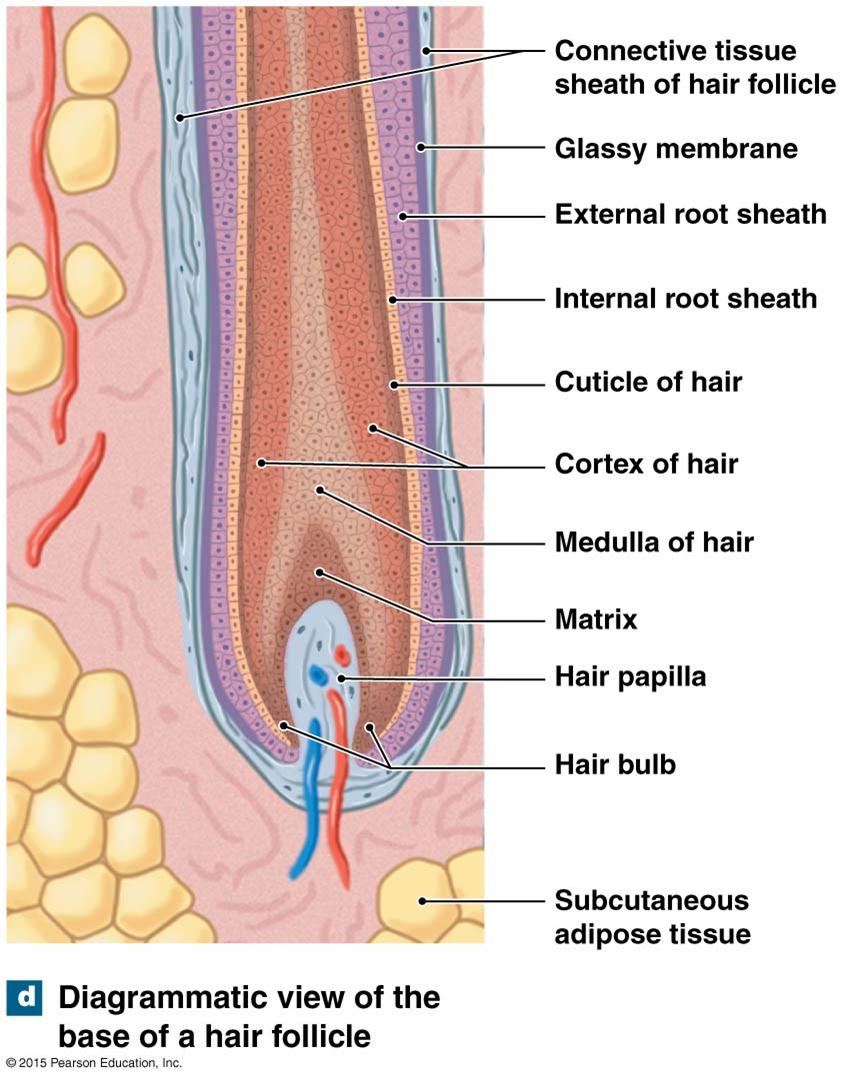 the base of a hair follicle  study help, anatomy study, anatomy and  physiology