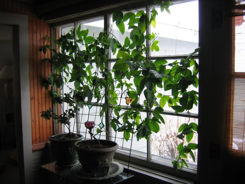 A Passionfruit Vine Growing In Pots And Climbing Up A Window Wouldn T This Be A Beautiful Idea To Add Gr Small Space Gardening Indoor Garden Growing Indoors