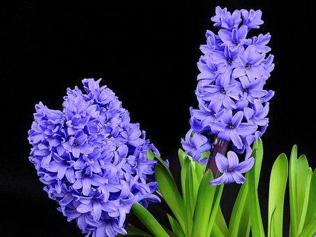 Hyacinth Flower Blossom Bloom Types Of Flowers Purple Flowers Fragrant Flowers