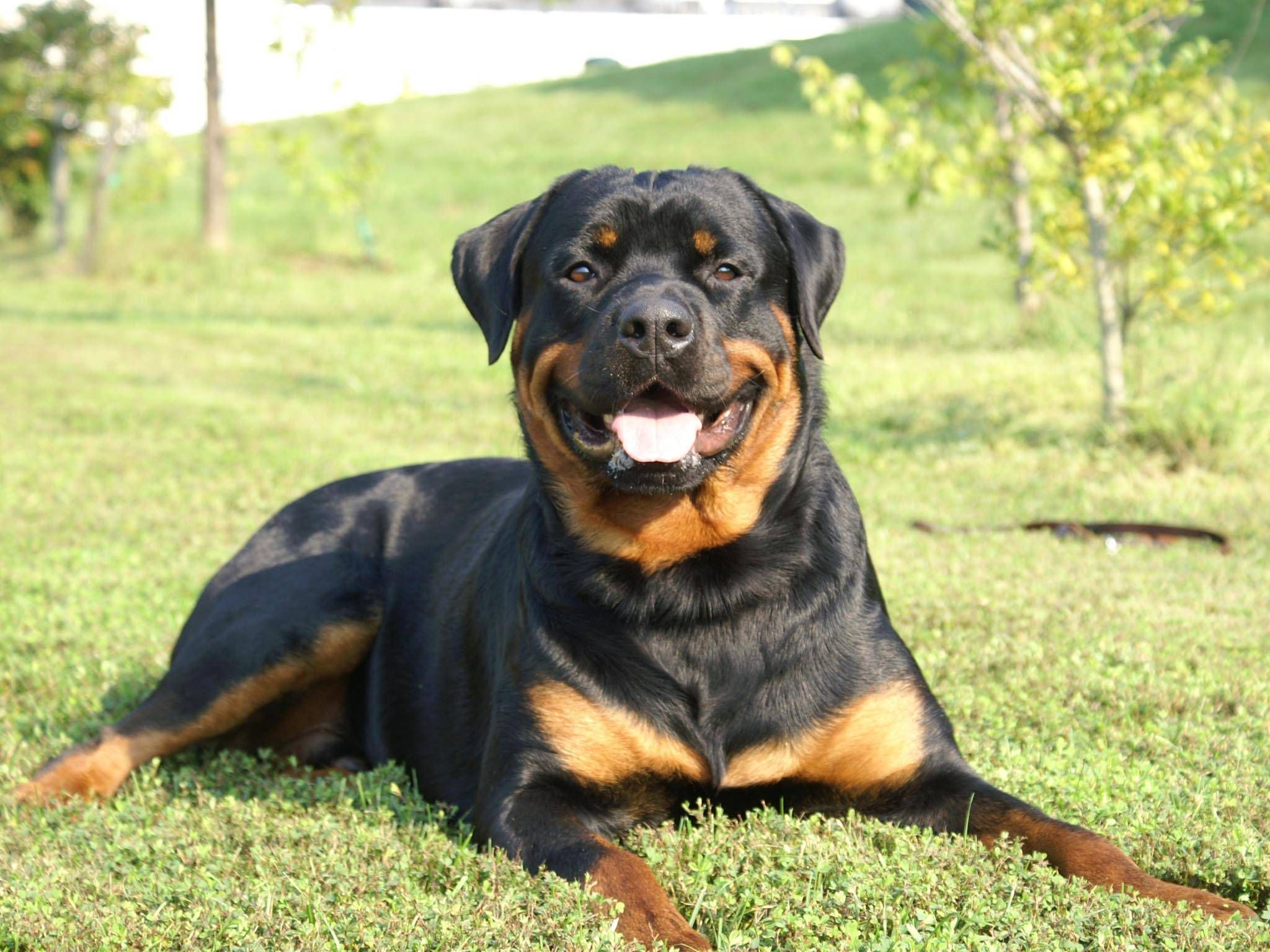 Pin By Florence Rosen On Dog Lover Rottweiler Puppies Guard Dog