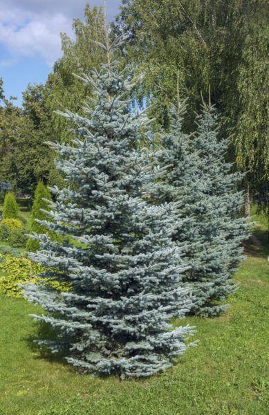 Zone 4 Evergreen Trees Choosing Evergreen Trees For Zone 4 Gardens Evergreen Trees Evergreen Trees For Sale Evergreen