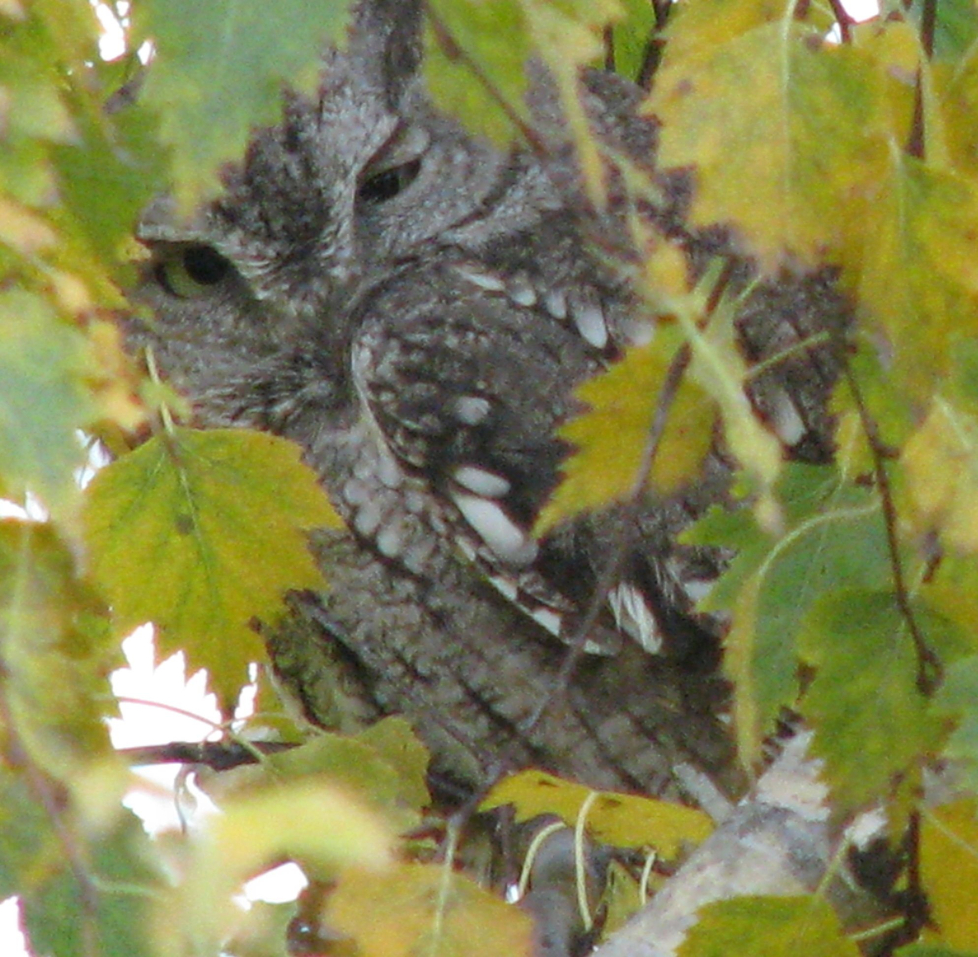 Tiny owl sitting in the tree outside my front door.   Only wise old owls around this house