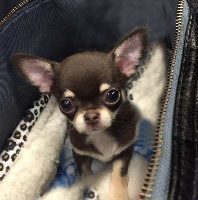 Pin By Kenya Laney On Puppies 2020 Chihuahua Puppies Cute