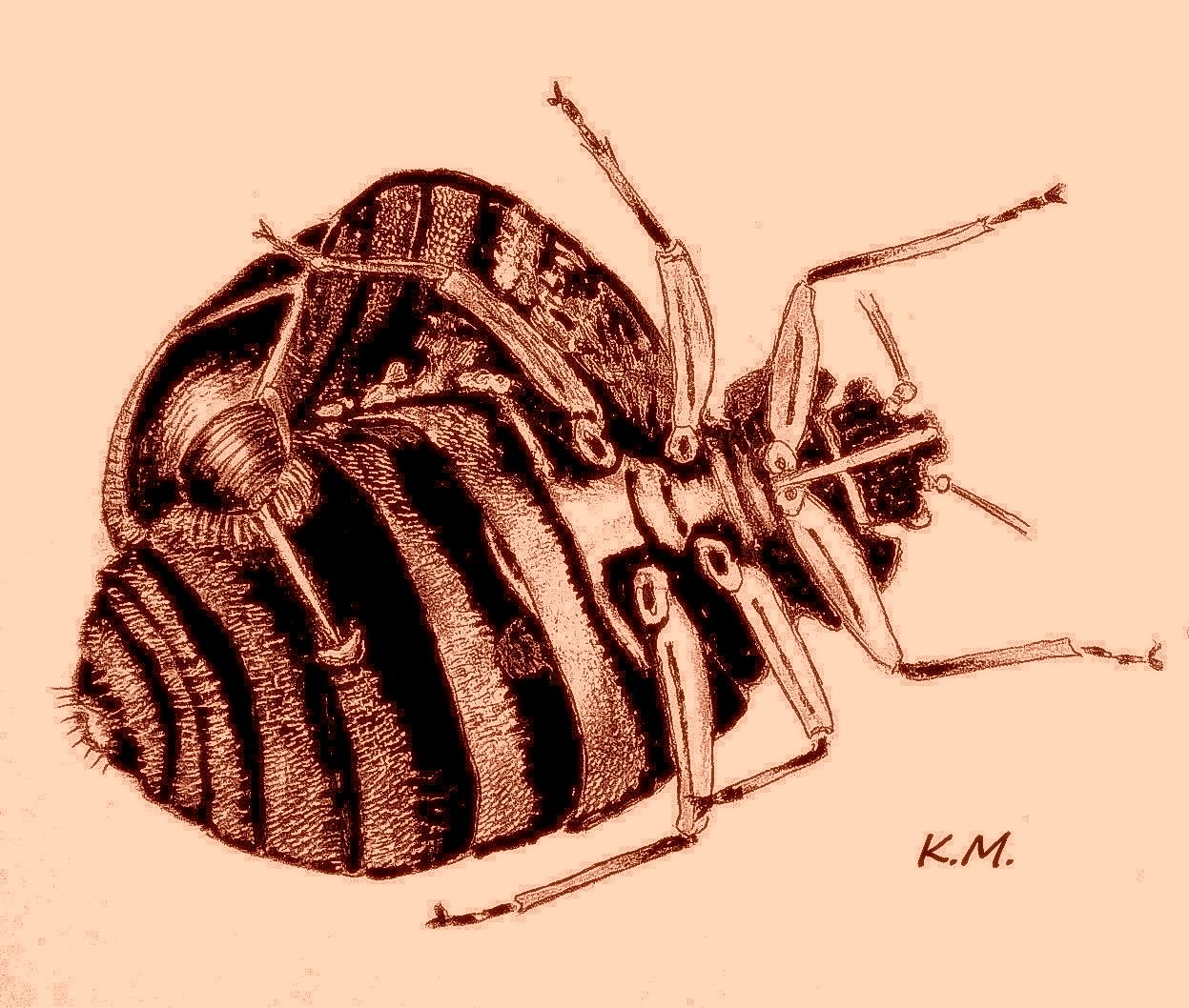 Cimicidae (bed bugs) mating