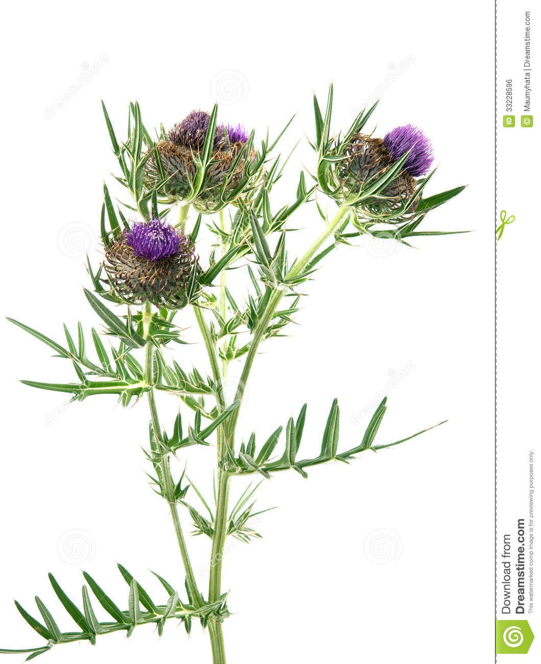 thistle royalty free stock image image 33228596 tattoos