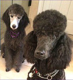 Khalsa Standard Poodle Puppies Poodle I Love Dogs Cute Animals
