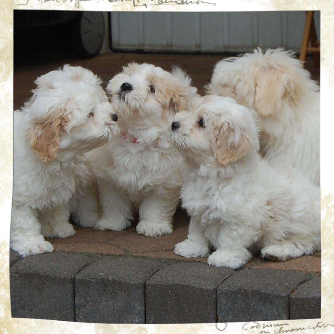 Aktuelles Little White Darling Maltese dogs, Dogs, Puppies
