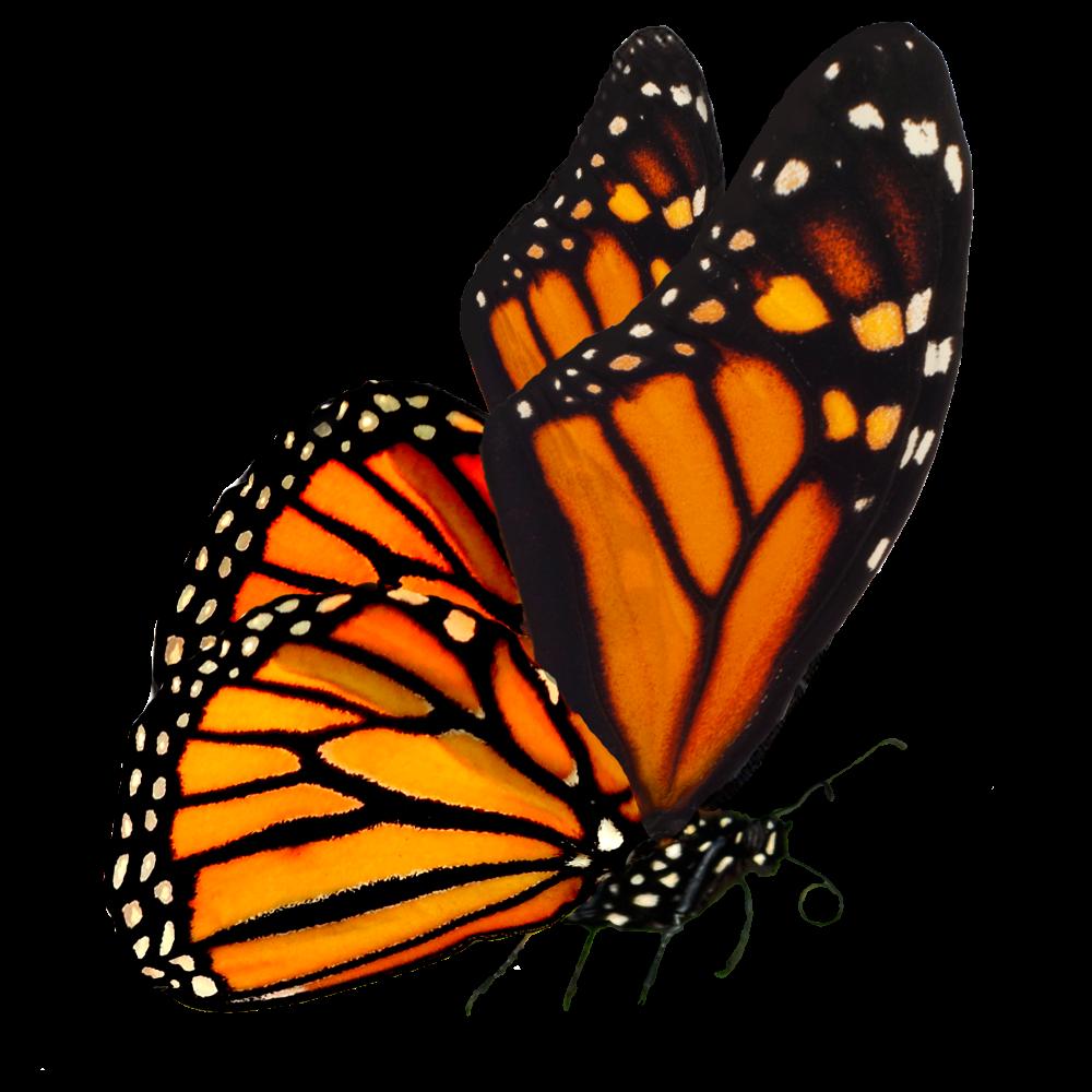 Monarch Butterfly Google Search Monarch Butterfly Monarch Caterpillar Monarch