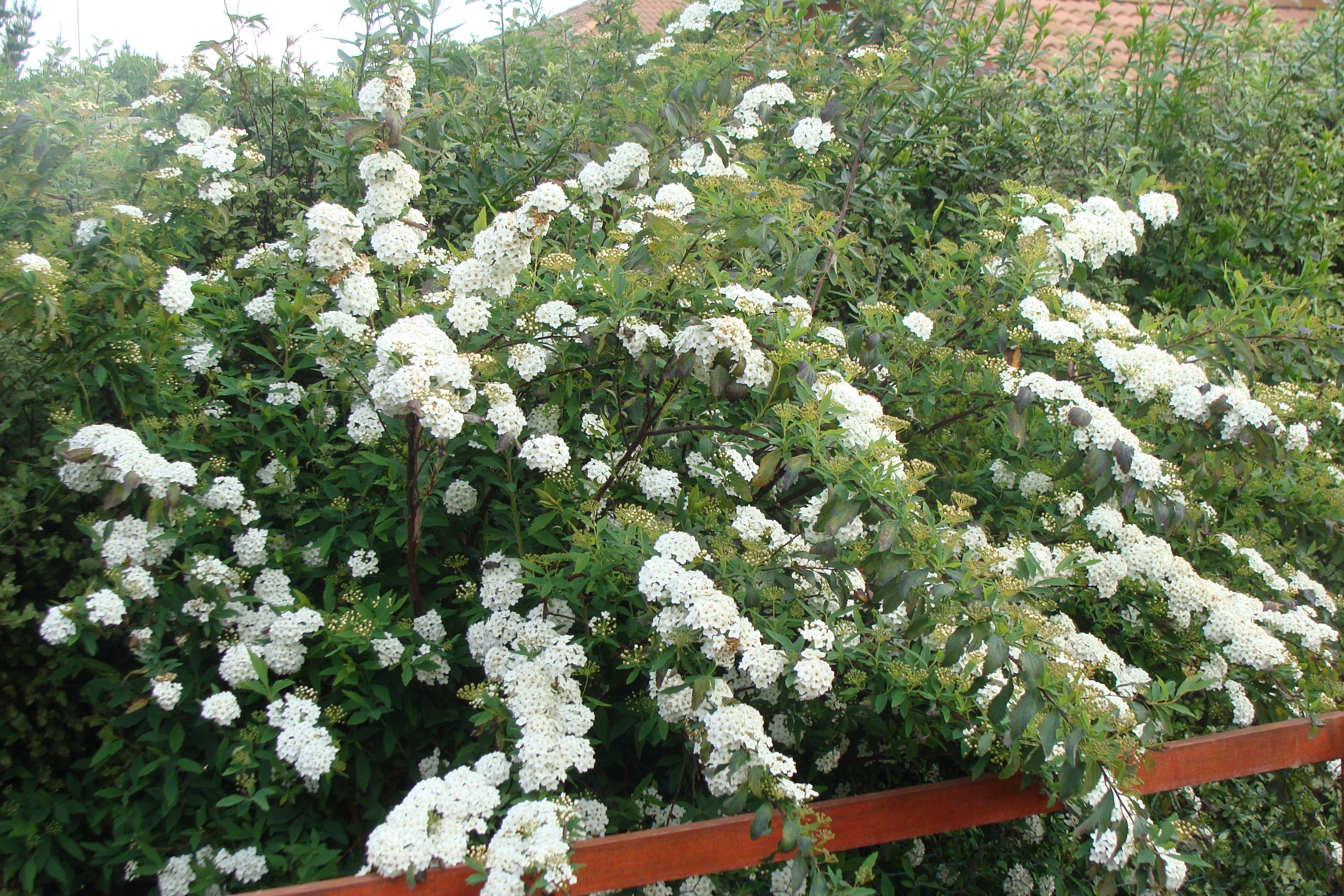 Spiraea Cantoniensis Also Known As Reeves Spirea Or Bridal Wreath