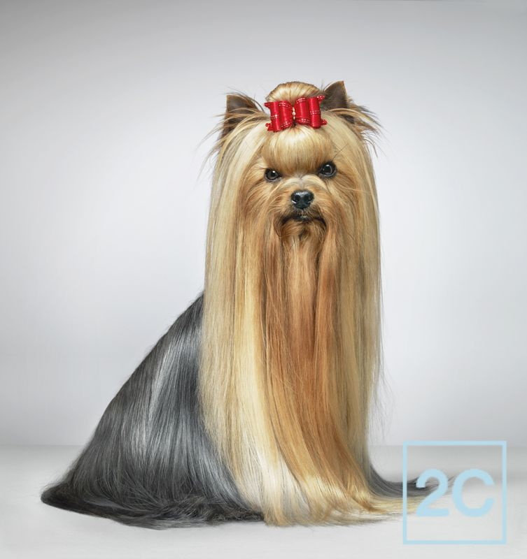 Yorkshire Terrier In Show Coat Puppies Are From Heaven