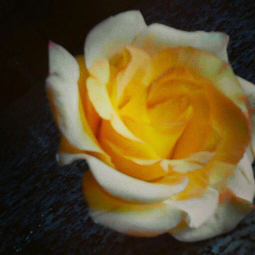 Roses gum paste by stella Ro