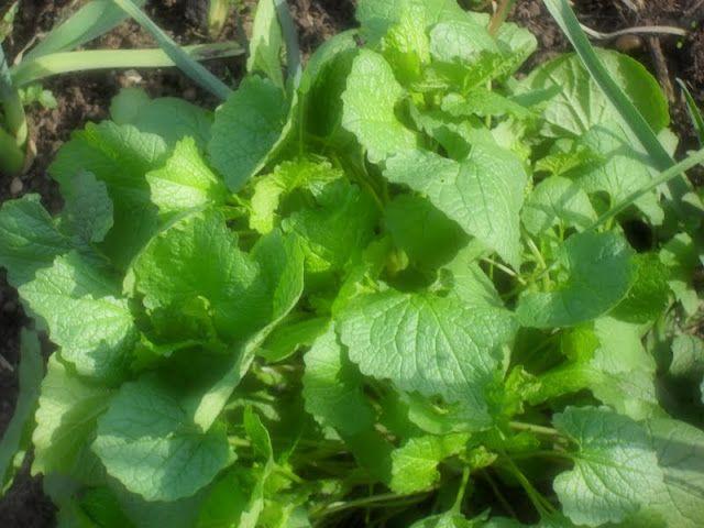 garlic mustard leaves