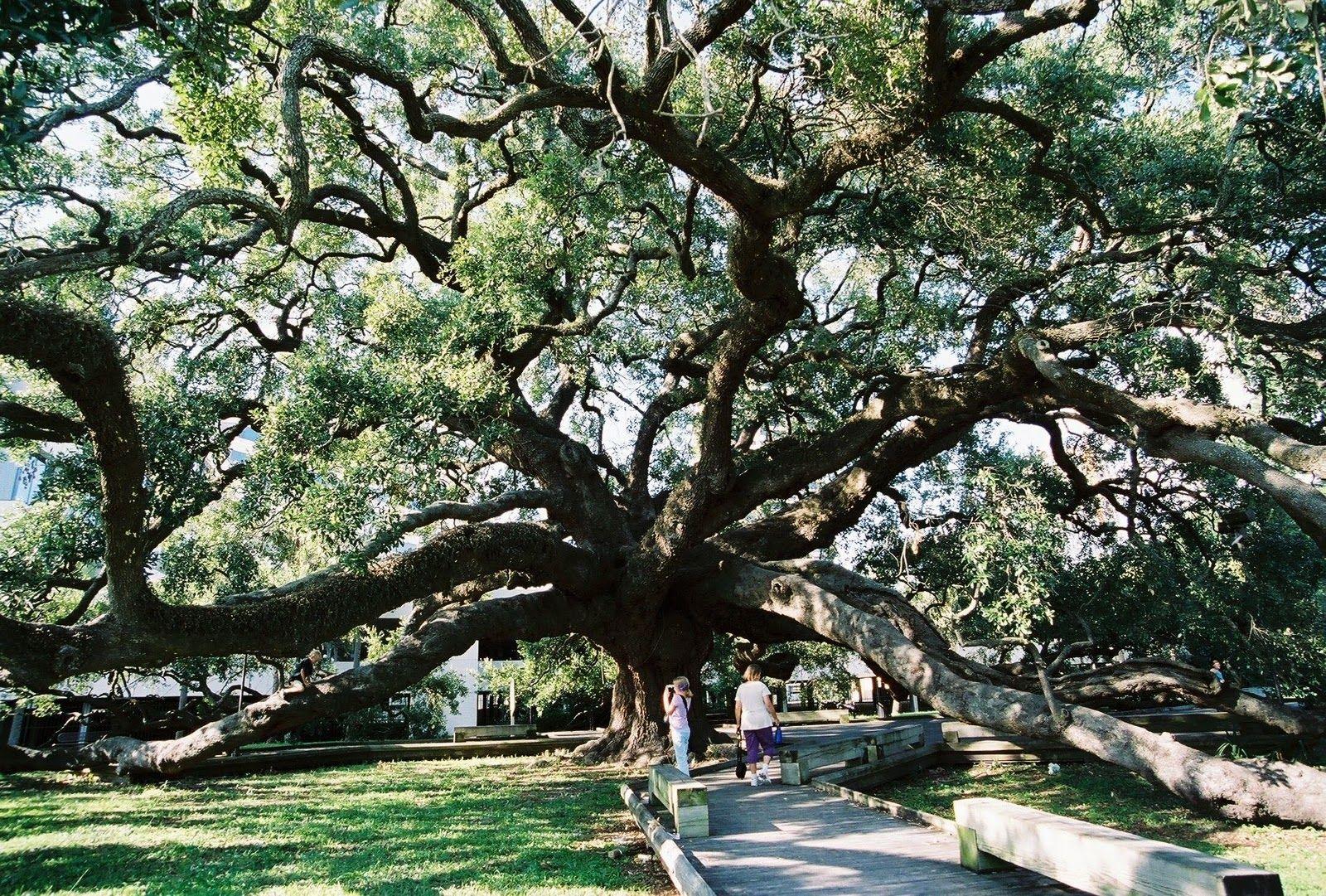 Urban Forestry Success, Treaty Oak, Quercus virginiana