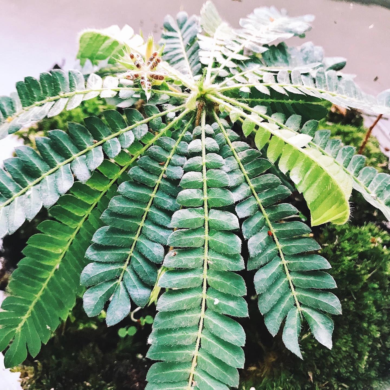 Biophytum sensitivum | Low maintenance garden, Plant