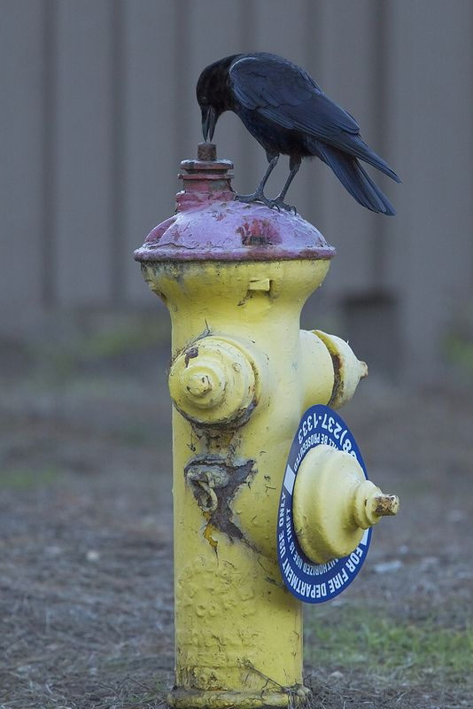 Common Raven (Corvus corax) | by evimeyer