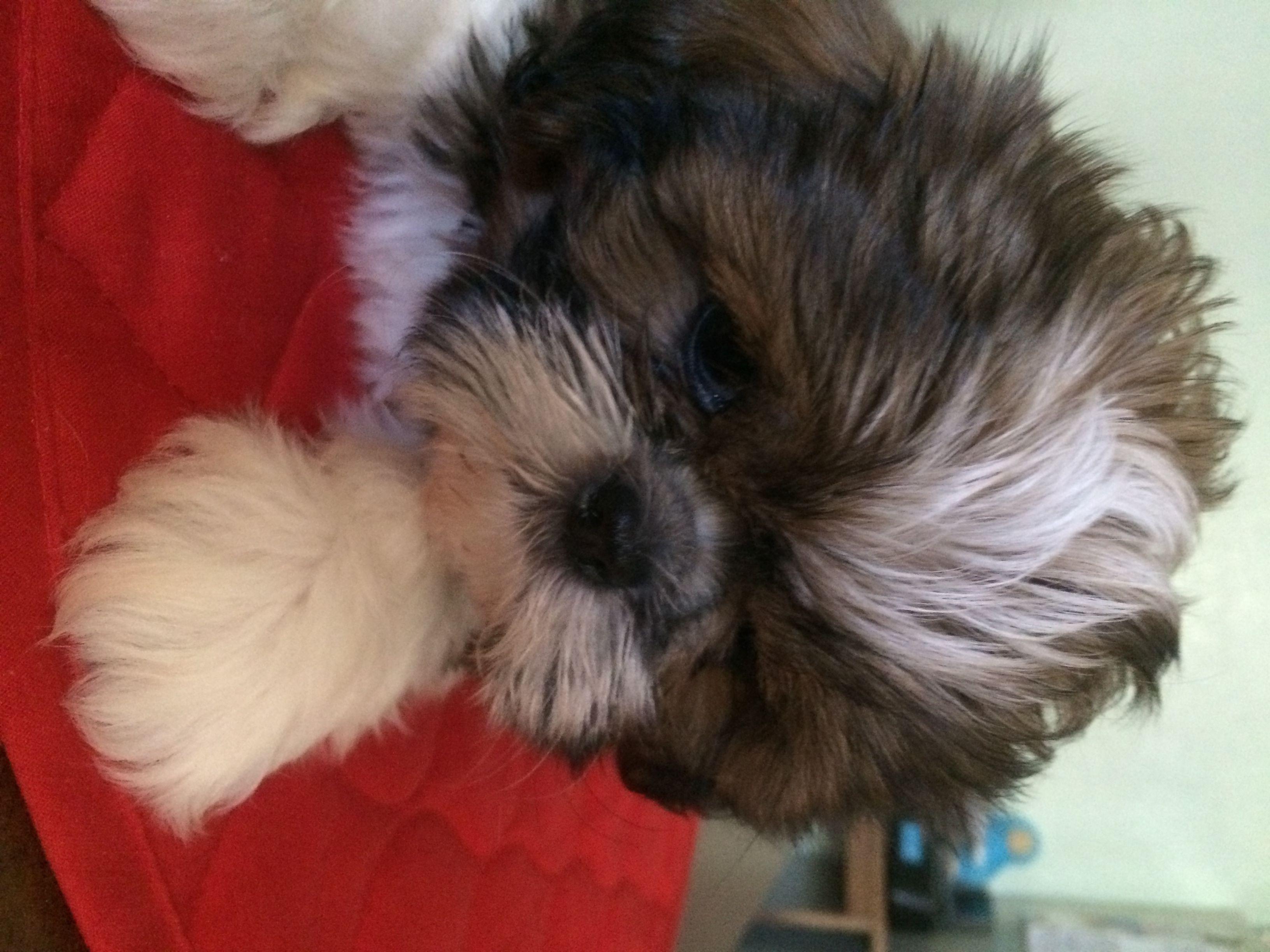 Shih Tzu Puppies For Sale Phoenix Az Shih Tzu Puppy Shih Tzu