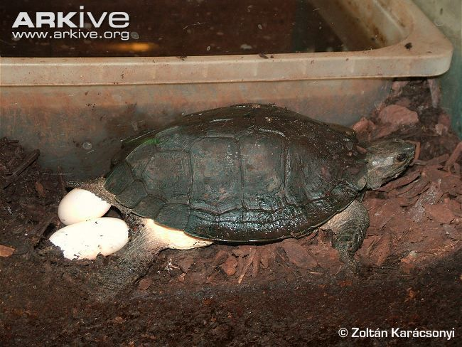 Brown Stream Terrapin Laying Eggs ペット 動物