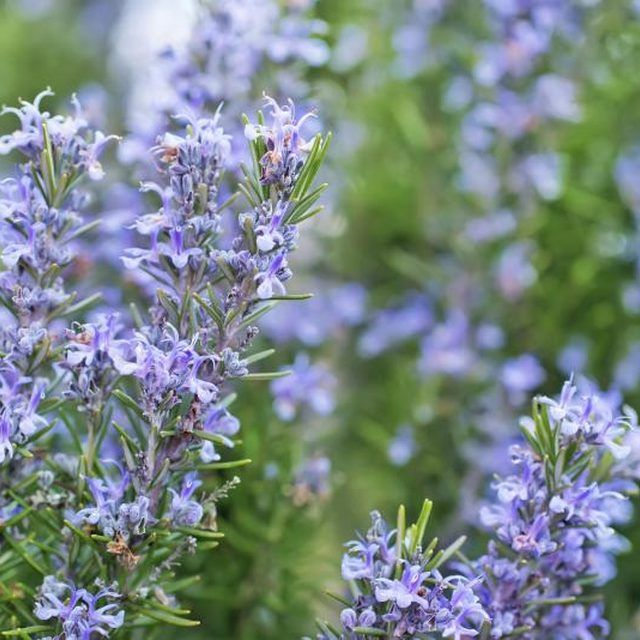 How Often Should You Water Rosemary Plants Ehow Plants Rosemary Plant Perennials
