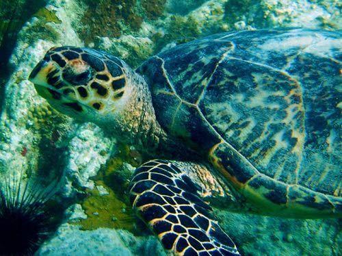 Hawksbill Sea Turtle, Secret Harbor, St. Thomas, USVI