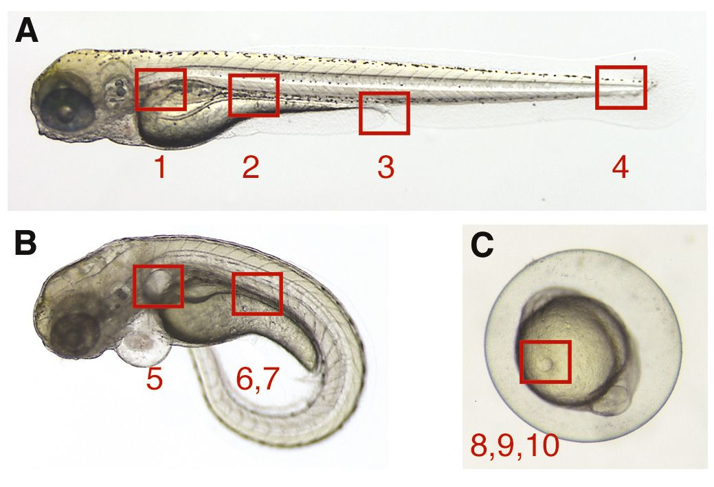 Image result for zebrafish embryo anatomy | KarIsruhe Institute of ...
