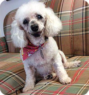Huntsville Al Poodle Miniature Mix Meet Mimi A Dog For