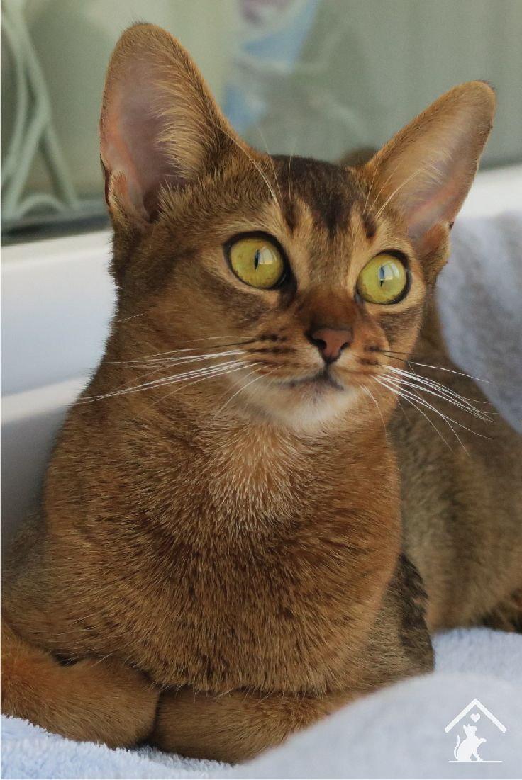 Abyssinian cat breed: breed description, character and reviews 34