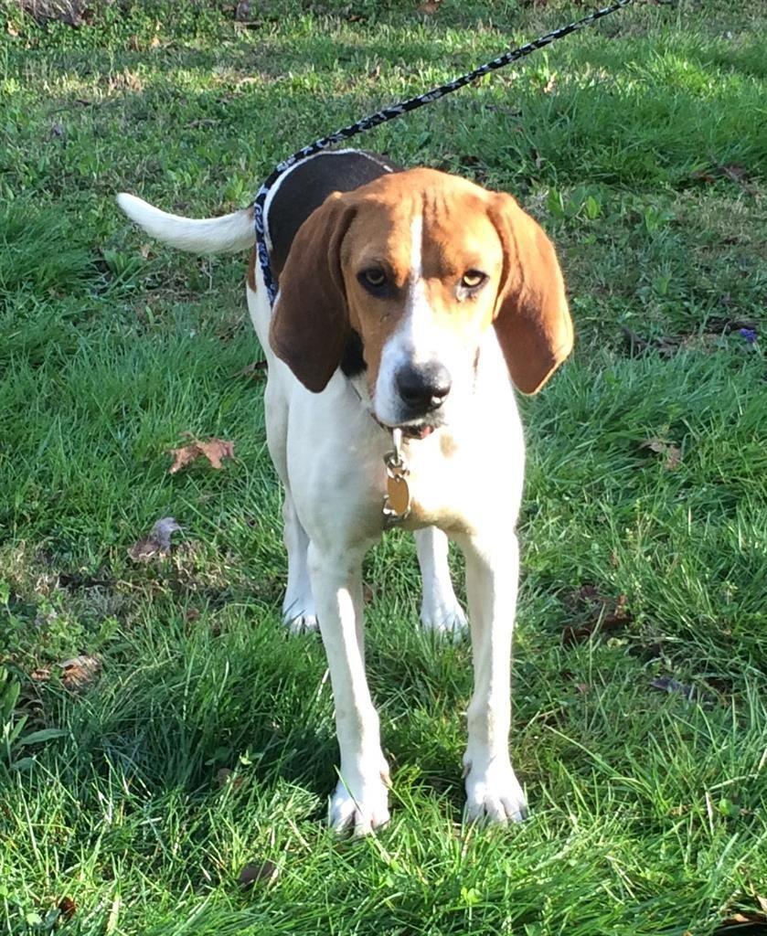 Found Dog Treeing Walker Coonhound Rocky Face Ga United