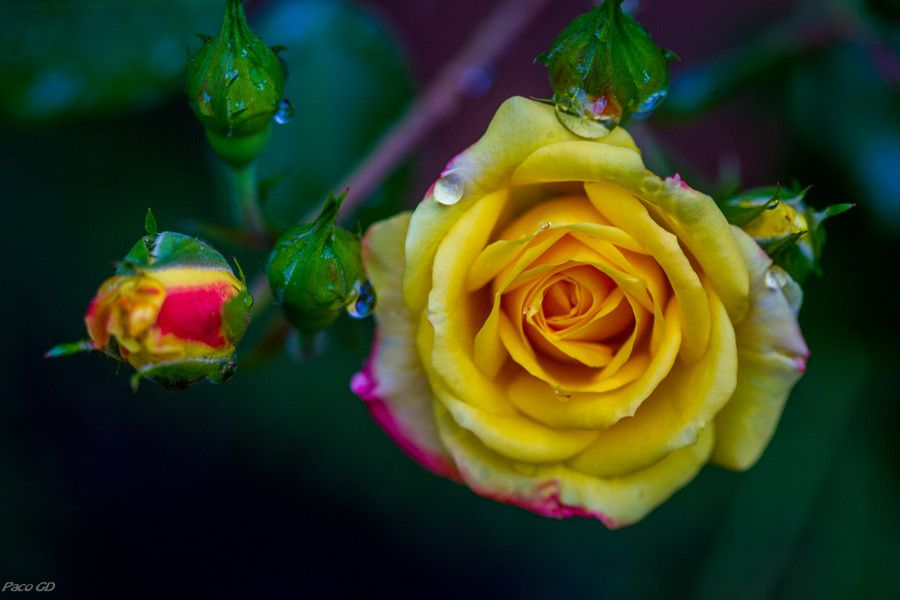 Rosa by Francisco Garcia Diaz on 500px