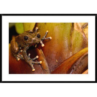 "Global Gallery 'Strawberry Tree Frog Male' Framed Photographic Print Size: 30"" H x 42"" W x 1.5"" D"