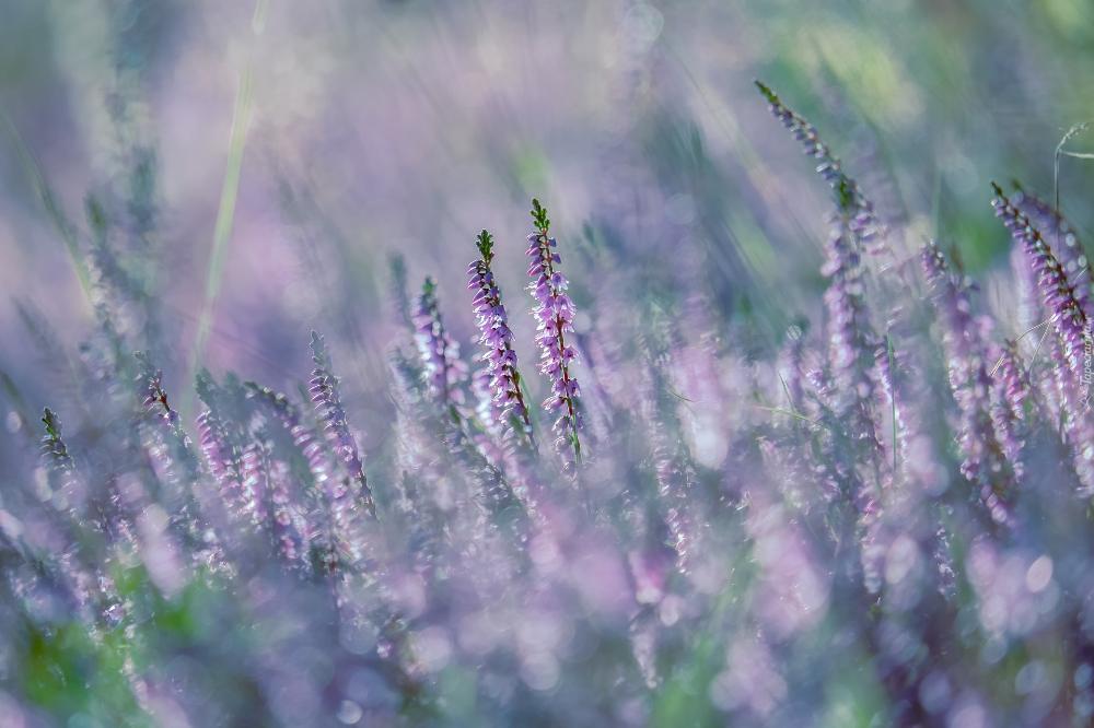 Kwiaty Wrzosy Rozmyte Tlo Piekne Tapety Na Twoj Pulpit Heather Flower Instagram Marketing Blossom