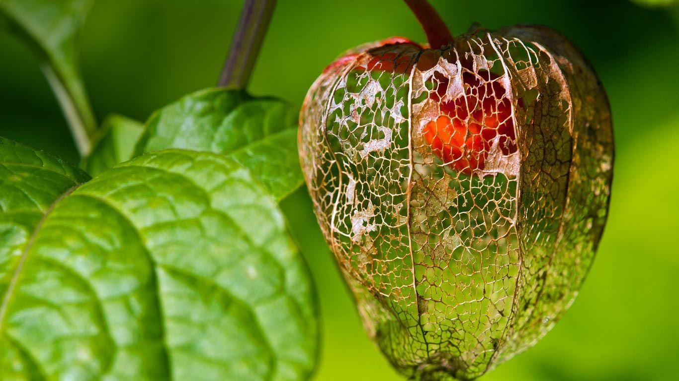 Check Details: Chinese lantern fruit (© Olivier Parent/Alamy)(Bing United States)